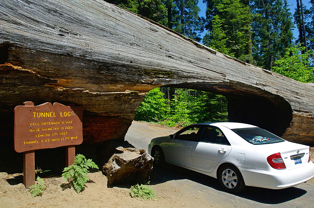 Carved opening for cars to drive through fallen tree trunk Tunnel Log, Sequoia National Park, California