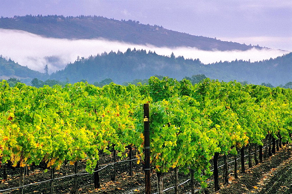 Fog and storm clouds over vineyards between St Helena & Calistoga, Napa County, California, USA