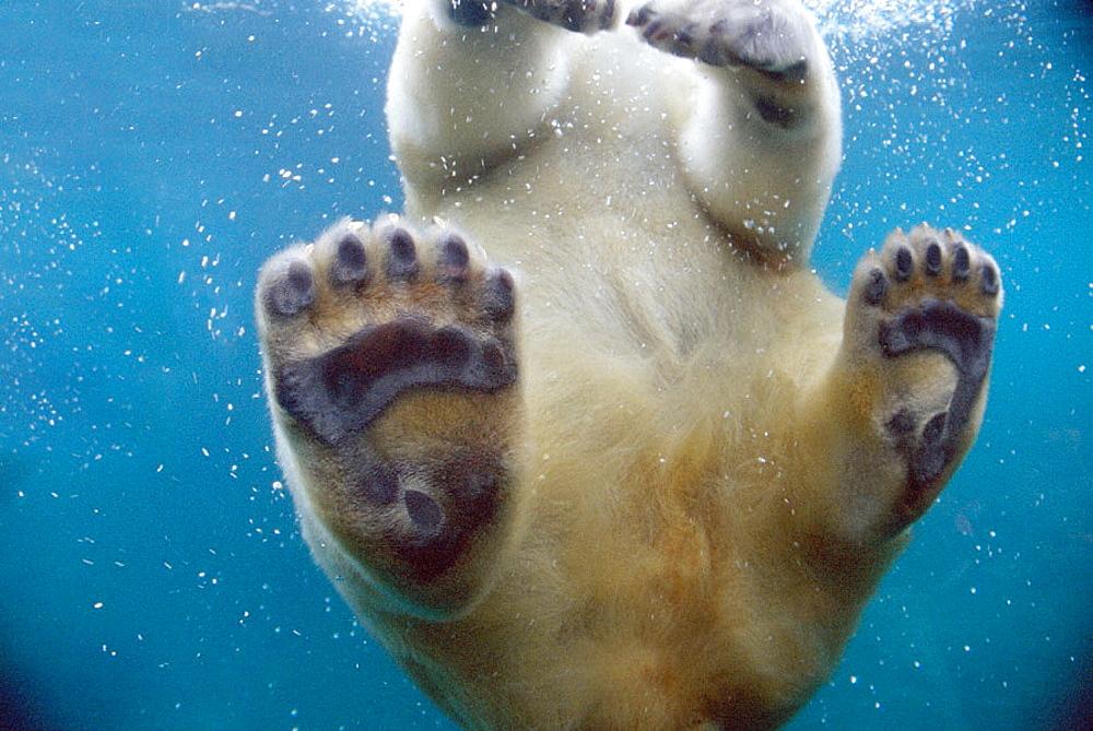Polar Bear (Ursus maritimus) - 817-987