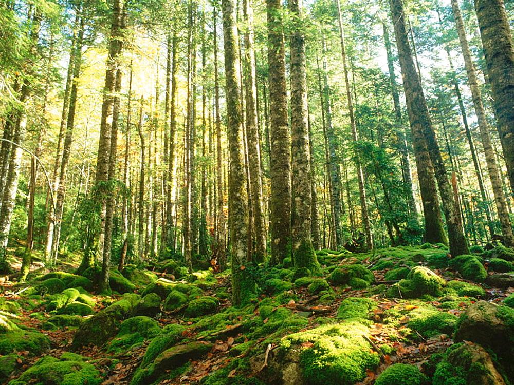 Silver Fir (Abies alba) forest in Ordesa National Park, Huesca province, Aragon, Spain