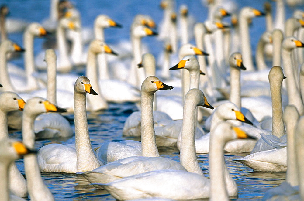 Whooper Swan (Cygnus cygnus) on Kushiro wetlands, Hokkaido, Japan