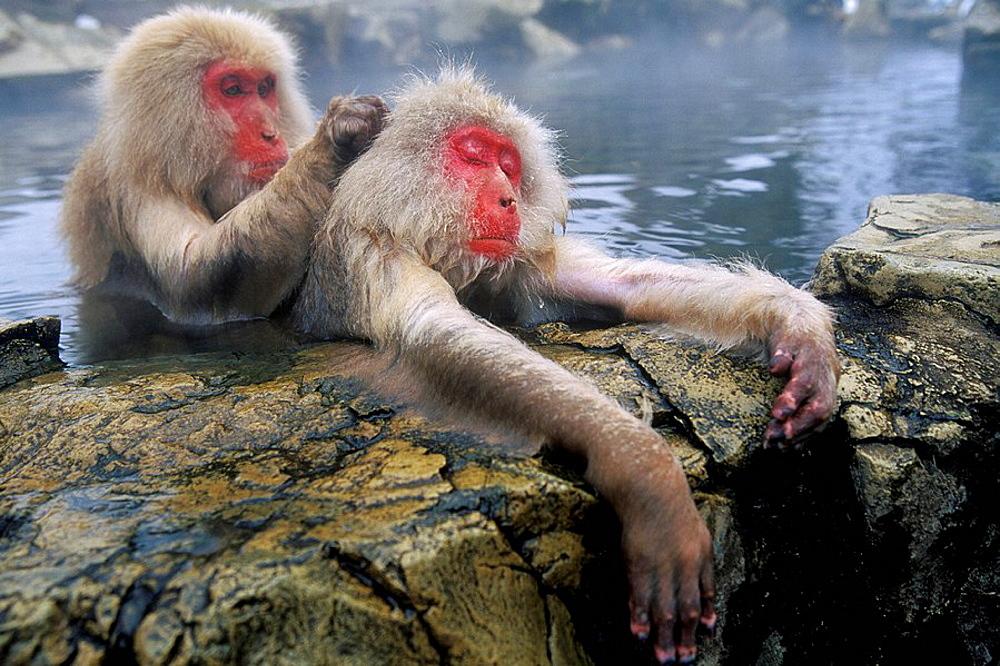 Japanese Macaques (Macaca fuscata), Jigokudani Yaien, Japan - 817-99771
