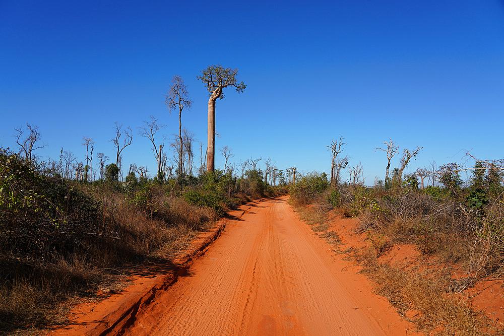 Allee des Baobabs (Avenue of the Baobabs), Morondava, Menabe region, Western Madagascar, Africa
