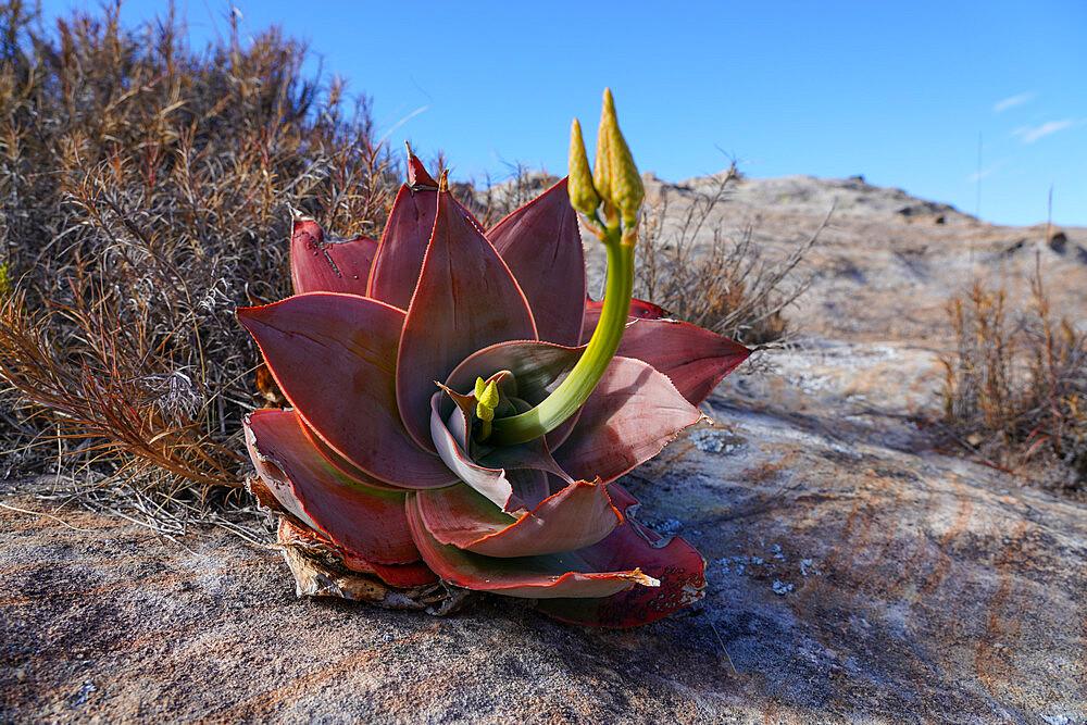Aloe isaloensis, Isalo National Park, Fianarantsoa province, Ihorombe Region, Southern Madagascar - 819-1045