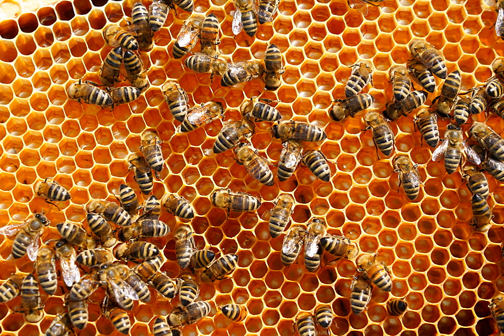 Carniolan honey bees, Santa Giustina, Belluno, Italy, Europe