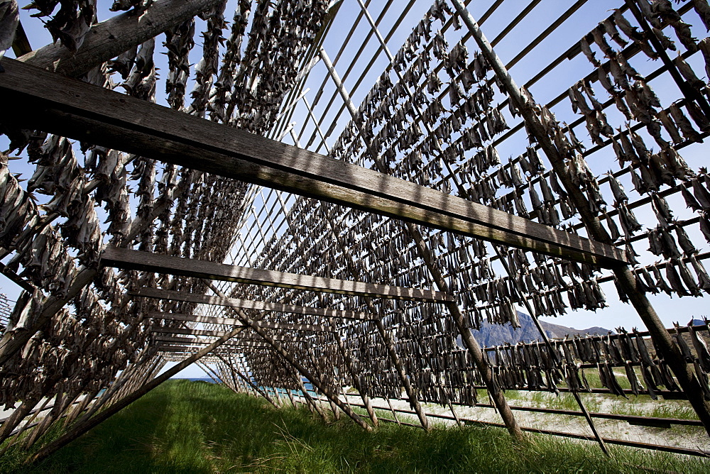 Stockfish, dried cod, hanging on wooden racks called flakes or hjell, on the seashore, Vesteralen archipelago, Troms Nordland county, Norway, Scandinavia, Europe