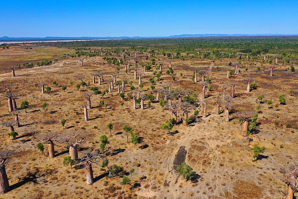 Baobab forest near Ambahikily Morombe district, Atsimo Andrefana Region, Madagascar, Africa - 819-978