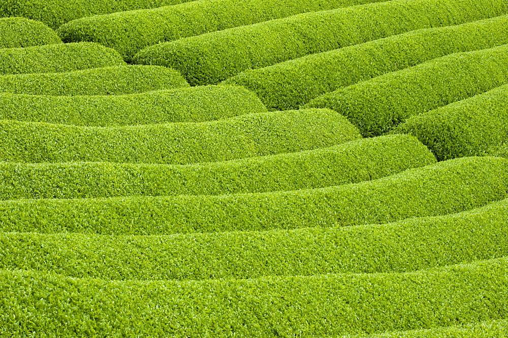 Rows of green tea bushes growing on the Makinohara tea plantations in Shizuoka, Japan - 822-178