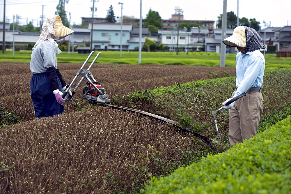 Green tea farmers pruning tea bushes in the Makinohara tea fields of Shizuoka Prefecture, Japan - 822-180