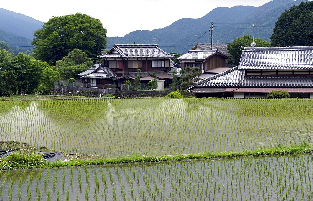 Newly planted rice seedlings in a flooded rice paddy in the rural Ohara village of Kyoto, Japan, Asia - 822-232