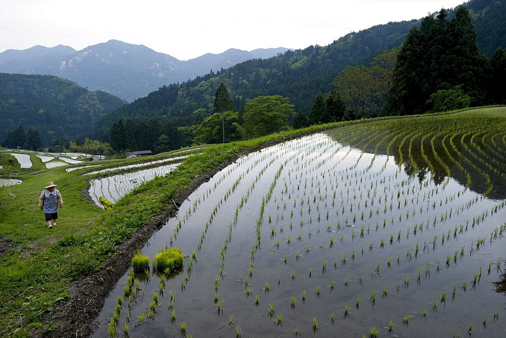 Farmer tending to rice paddy terraces in early spring in mountain village of Hata, Takashima, Shiga, Japan, Asia - 822-254
