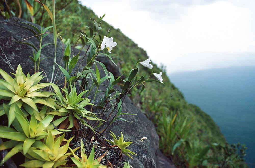 Cerro Autana, endemic white orchid (Orchidaceae), Amazonas territory, Venezuela, South America