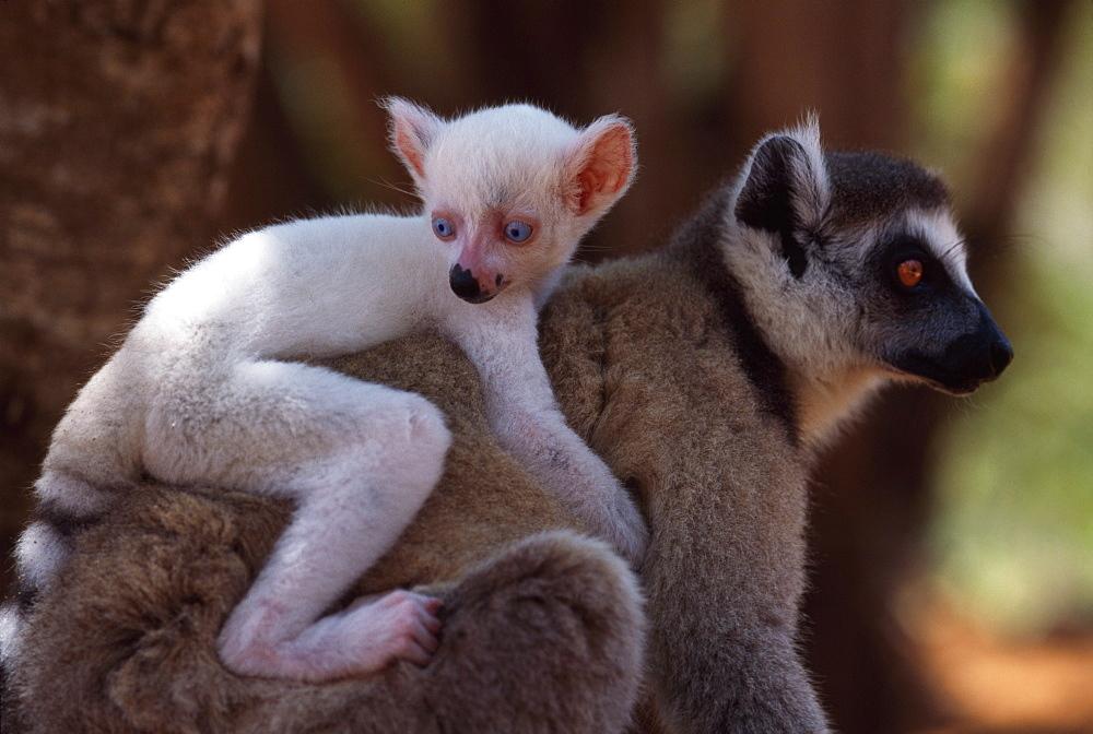Ring-tailed Lemurs (Lemur catta), all white baby male (Sapphire) albino lemur on mother's back, Berenty, Southern Madagascar, Africa