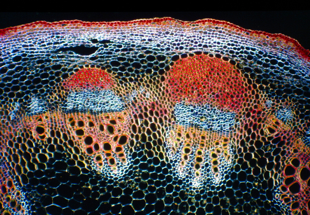 Light Micrograph (LM) of a transverse section of a stem showing vascular bundle, cortex and epidermis of Jerusalem artichoke (Helianthus tuberosus), magnification x 600 - 823-506