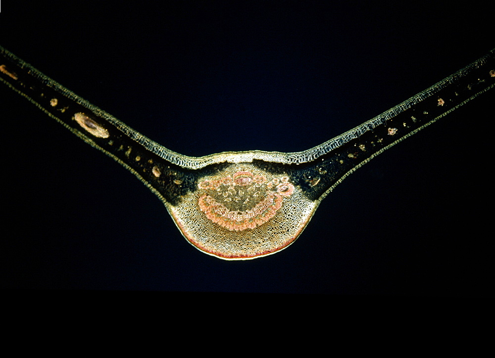 Light Micrograph (LM) of a transverse section of a fig leaf, magnification x 15 - 823-508