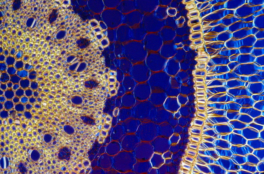 Light Micrograph (LM) of a transverse section of an aerial root of Orchid (Dendrobium sp.), magnification x600 - 823-510
