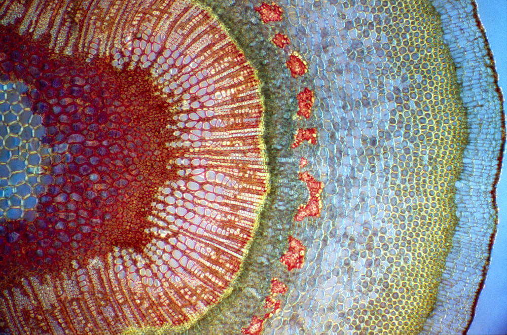 Light Micrograph (LM) of a tranverse section of a stem of a Common (European) Ash tree (Fraxinus excelsior), magnification x30 - 823-511
