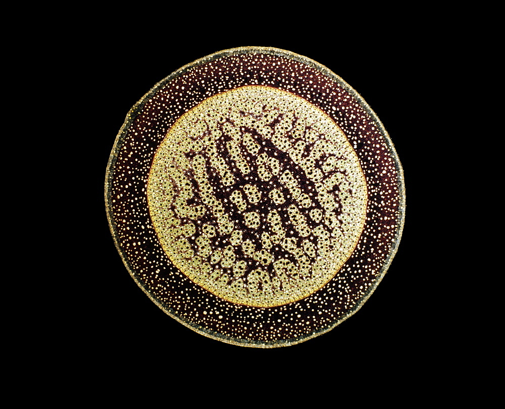 Light Micrograph (LM) of a transverse section of an aerial root of a Pandanus sp., magnification x30 - 823-522