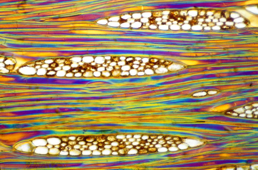 Light Micrograph (LM) of a longitudinal section showing xylem elements of Mahogany (Swietenia mahagoni), magnification x600 - 823-535