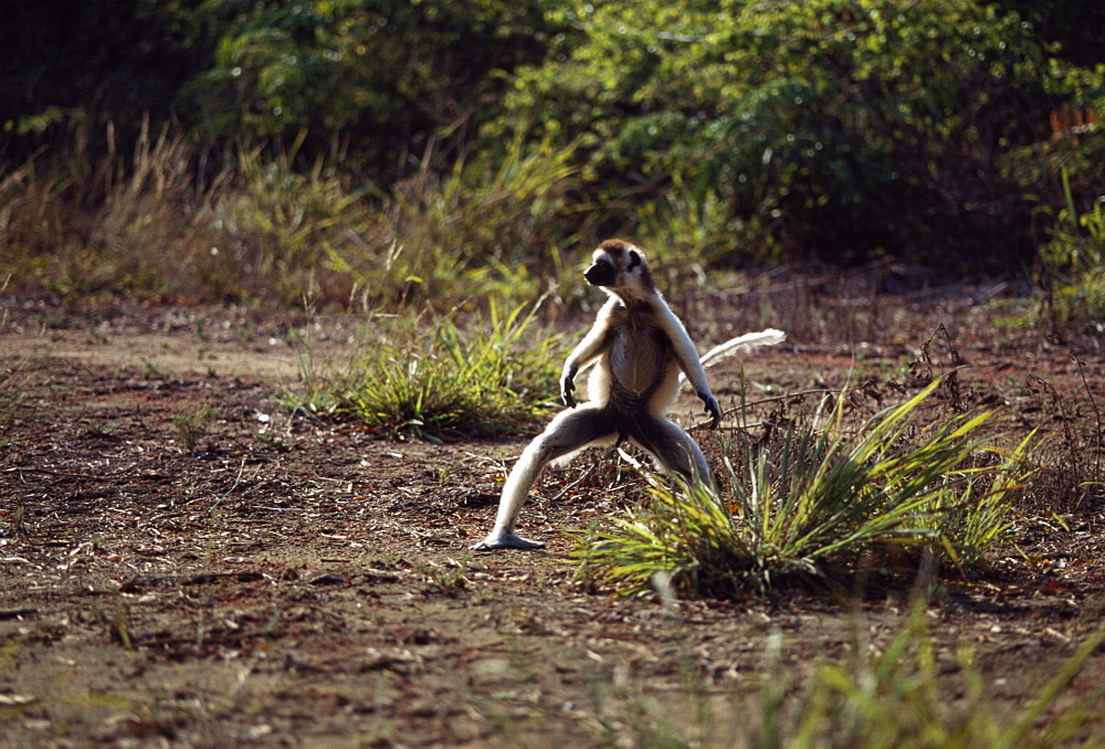Verreaux's Sifaka (Propithecus verreauxi) male hopping on ground, Berenty Reserve, Southern Madagascar, Africa