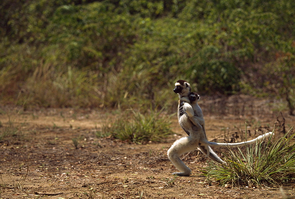 Verreaux's Sifaka (Propithecus verreauxi) mother with baby on her back hopping on ground, Berenty Reserve, Southern Madagascar, Africa