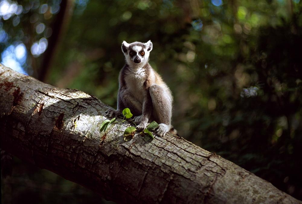 Ring-tailed Lemur (Lemur catta) on tree, Berenty, Southern Madagascar, Africa - 823-570