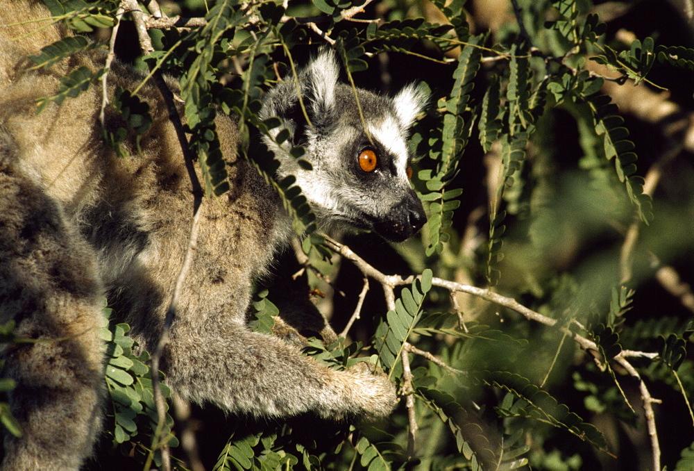 Ring-tailed Lemur (Lemur catta) feeding on tamarind, Berenty, Southern Madagascar, Africa