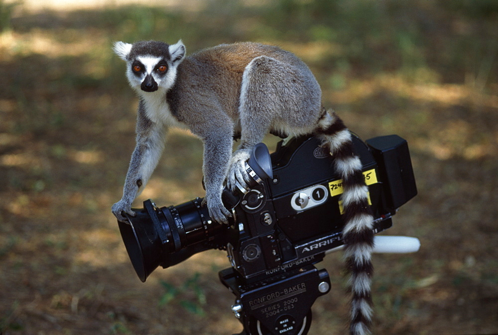 Ring-tailed Lemur (Lemur catta) on camera, Berenty, Southern Madagascar, Africa - 823-576