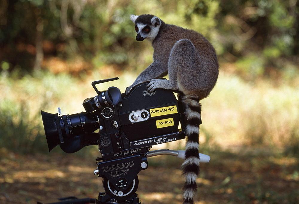 Ring-tailed Lemur (Lemur catta) on camera, Berenty, Southern Madagascar, Africa - 823-577