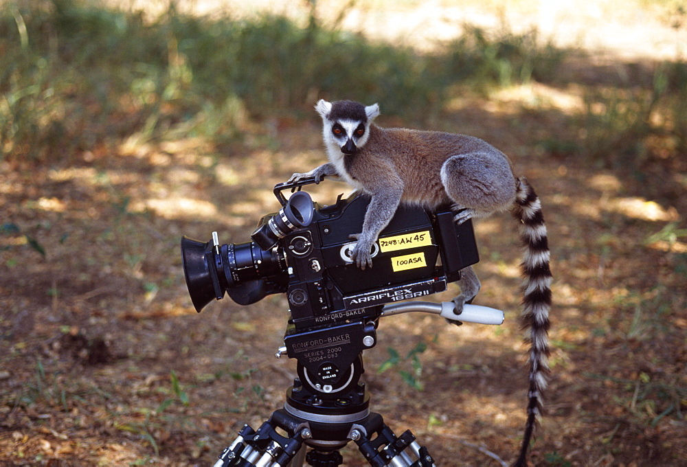 Ring-tailed Lemur (Lemur catta) on camera, Berenty, Southern Madagascar, Africa - 823-578