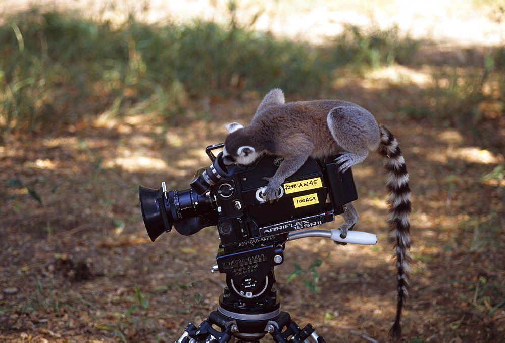 Ring-tailed Lemur (Lemur catta) on camera filming, Berenty, Southern Madagascar, Africa - 823-579