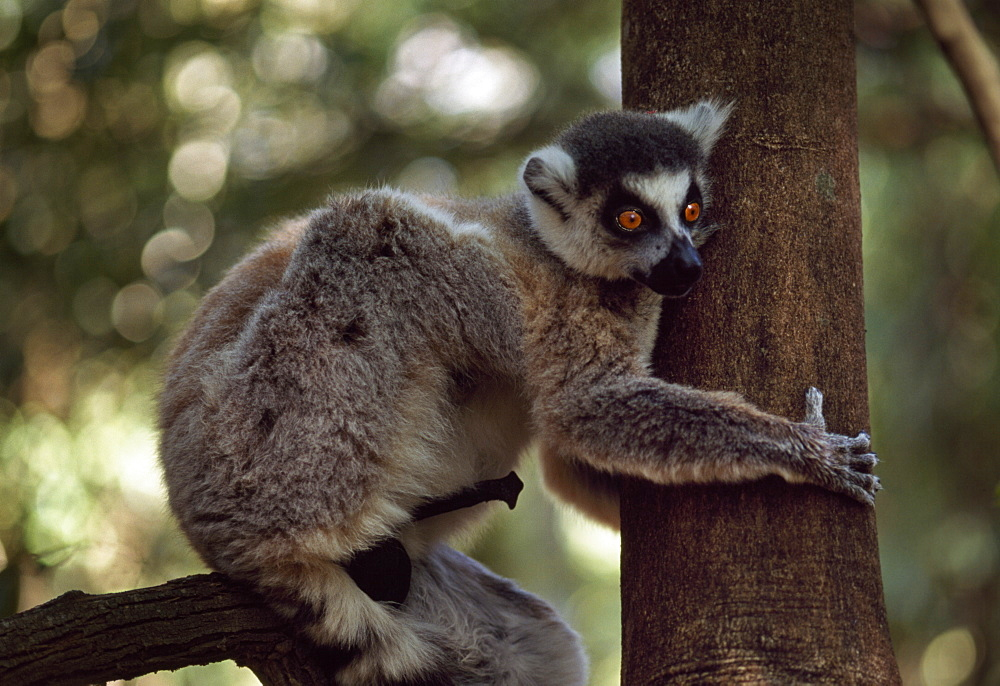 Ring-tailed Lemur (Lemur catta) male with erection on tree, Berenty, Southern Madagascar, Africa - 823-581