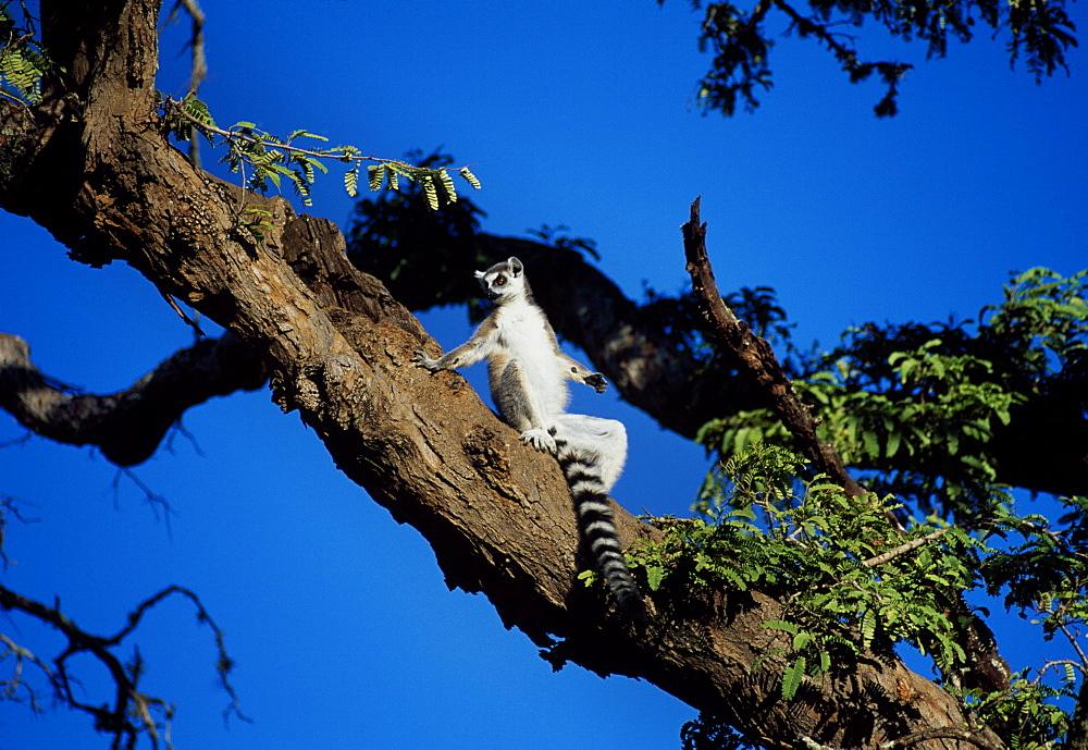 Ring-tailed Lemur (Lemur catta) sunbathing in tree, Berenty, Southern Madagascar, Africa - 823-590