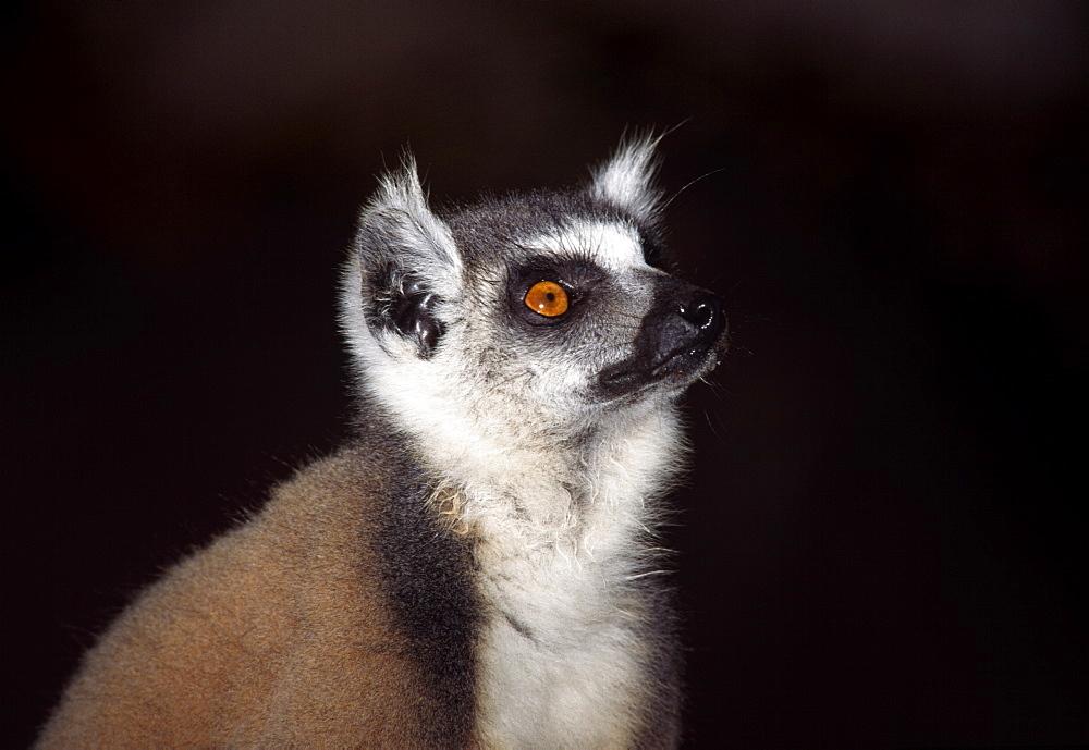 Portrait of a ring-tailed Lemur (Lemur catta), Berenty, Southern Madagascar, Africa - 823-593