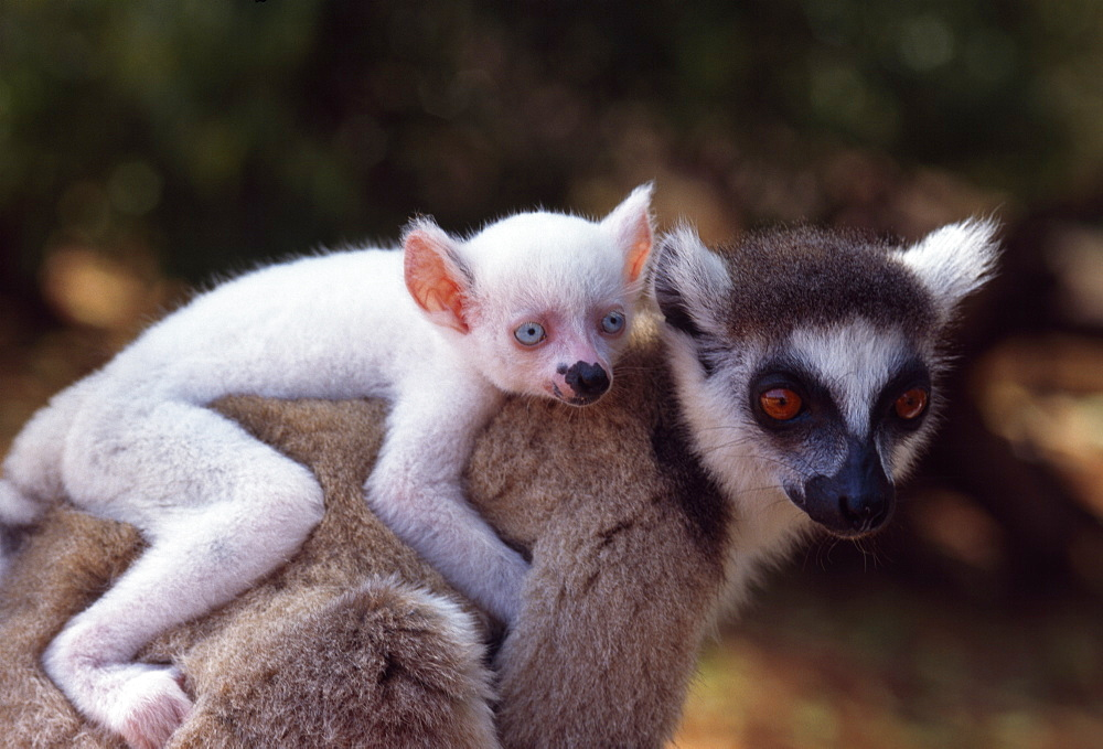 Ring-tailed Lemur (Lemur catta), all white baby male (Sapphire) albino on mother's  back, Berenty, Southern Madagascar, Africa - 823-598