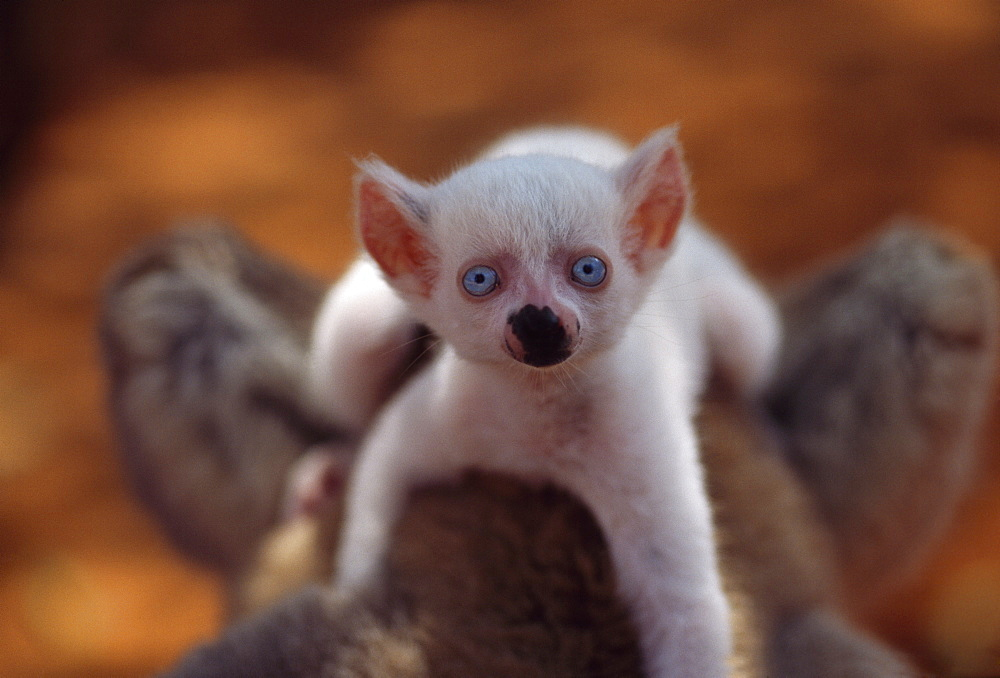 Ring-tailed Lemur (Lemur catta), all white baby male (Sapphire) albino on mother's  back, Berenty, Southern Madagascar, Africa - 823-599