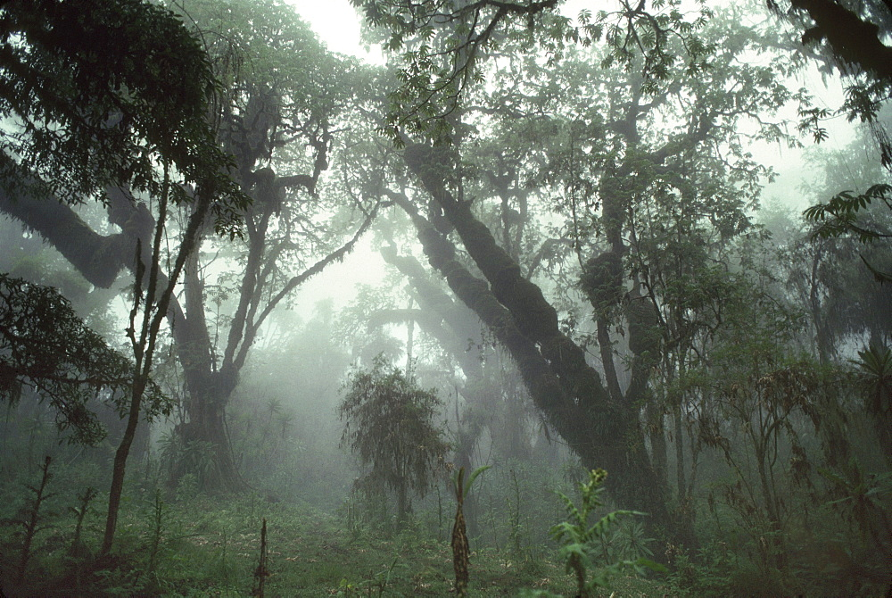 Hagenia (Hagenia abyssinica) Forest, Mountain Gorilla Habitat, Virunga Volcanoes, Rwanda, Africa - 823-601