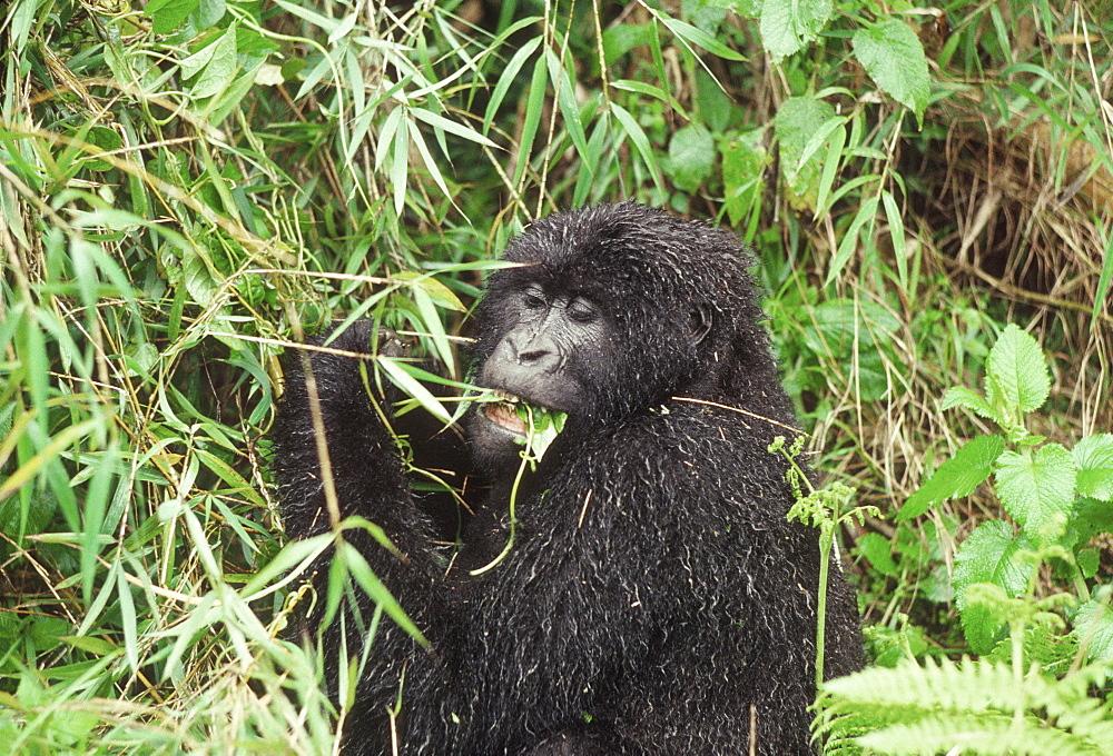 Mountain Gorilla (Gorilla gorilla beringei) female feeding on vine after rain, Virunga Volcanoes, Rwanda, Africa - 823-602