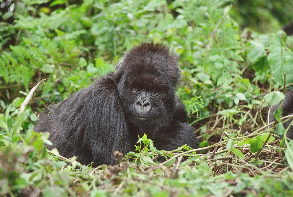 Mountain Gorilla (Gorilla gorilla beringei) female Poppy, Virunga Volcanoes, Rwanda, Africa - 823-603