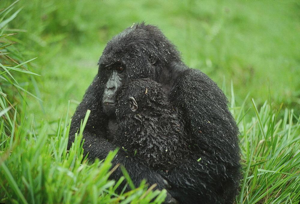 Mountain Gorilla (Gorilla gorilla beringei) mother with infant in the rain, Virunga Volcanoes, Rwanda, Africa - 823-606