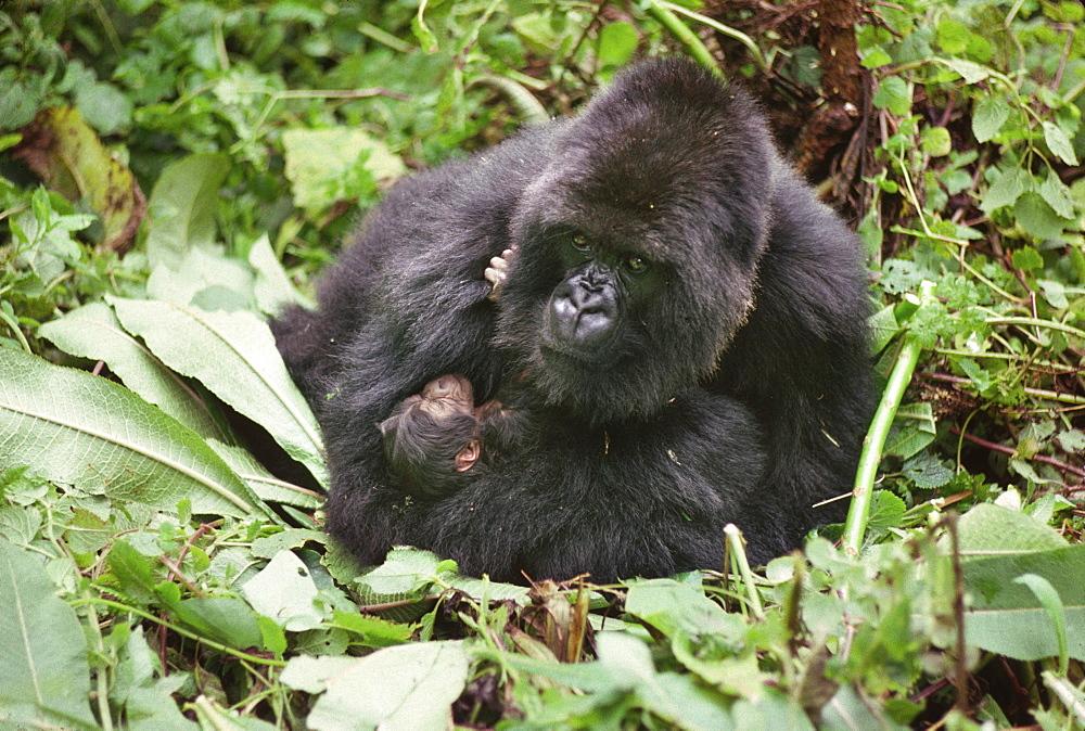 Mountain Gorillas (Gorilla g. beringei), mother Amareba with newborn infant, Virunga Volcanoes, Rwanda, Africa - 823-612