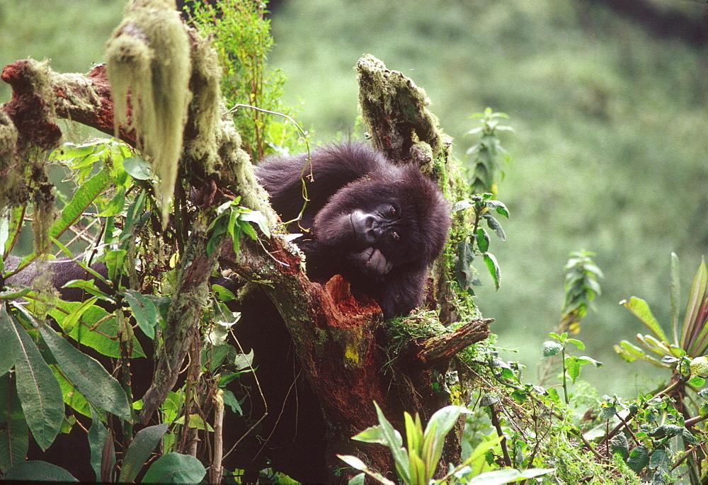 Mountain Gorilla (Gorilla gorilla beringei) juvenile, Virunga Volcanoes, Rwanda, Africa - 823-615