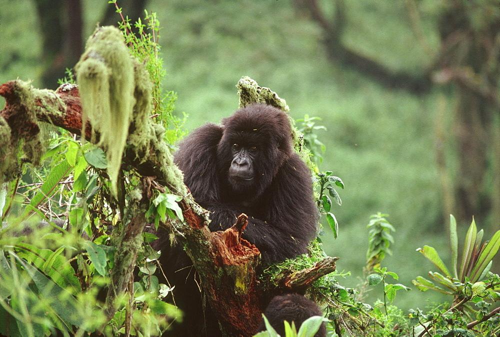 Mountain Gorilla (Gorilla gorilla beringei) juvenile, Virunga Volcanoes, Rwanda, Africa - 823-616