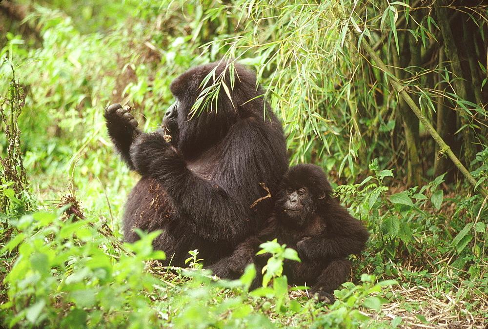 Mountain Gorillas (Gorilla g. beringei) female with infant feeding, Virunga Volcanoes, Rwanda, Africa - 823-621