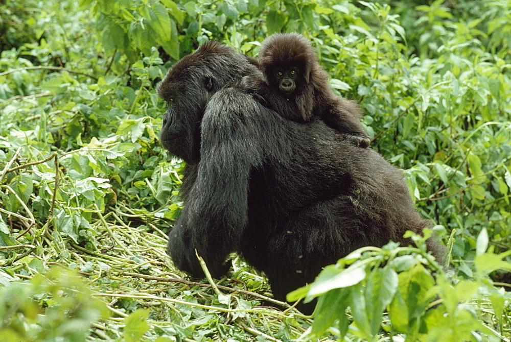 Mountain Gorillas (Gorilla g. beringei) female with infant on back, Virunga Volcanoes, Rwanda, Africa - 823-623