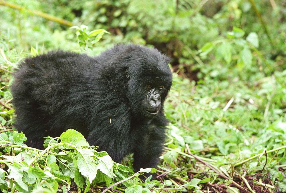 Mountain Gorillas (Gorilla gorilla beringei) juvenile, Virunga Volcanoes, Rwanda, Africa - 823-628