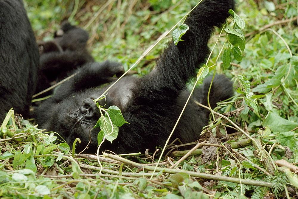Mountain Gorilla (Gorilla gorilla beringei) juvenile playing, Virunga Volcanoes, Rwanda, Africa - 823-631