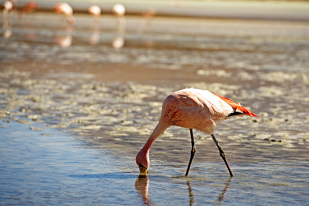 A James Flamingo feeding in a shallow lagoon on the Bolivian Altiplano, Bolivia, South America  - 824-122
