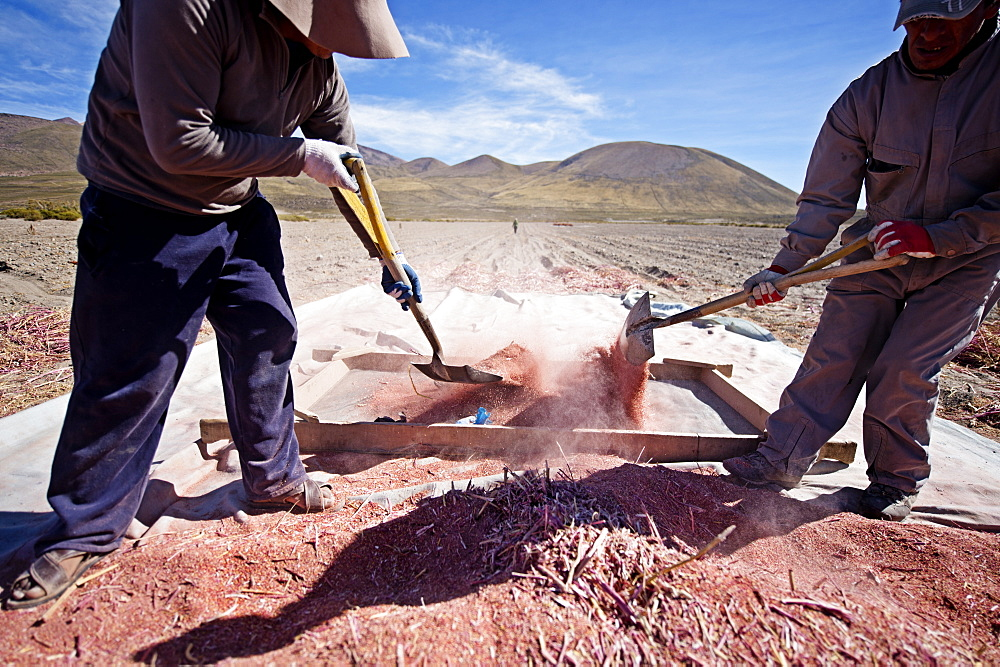 Farming quinoa, a super food, on the Bolivian Altiplano, Bolivia, South America  - 824-131