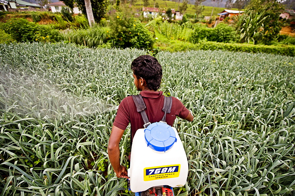 A farmer and student of the ISFF uses pesticide to grow leeks in Halgranoya, Sri Lanka, Asia - 824-137